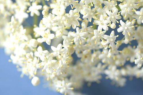 Elderflower close